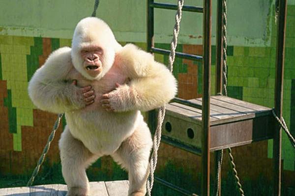 image gallery pet gorilla