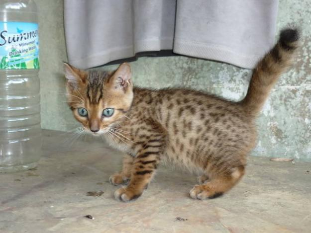 Ruslee Cats Kucing Untuk Dijual