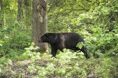 Regarding the recent bear incident in western N.C.
