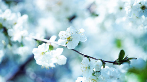 Wallpaper Bunga Cherry Blossom