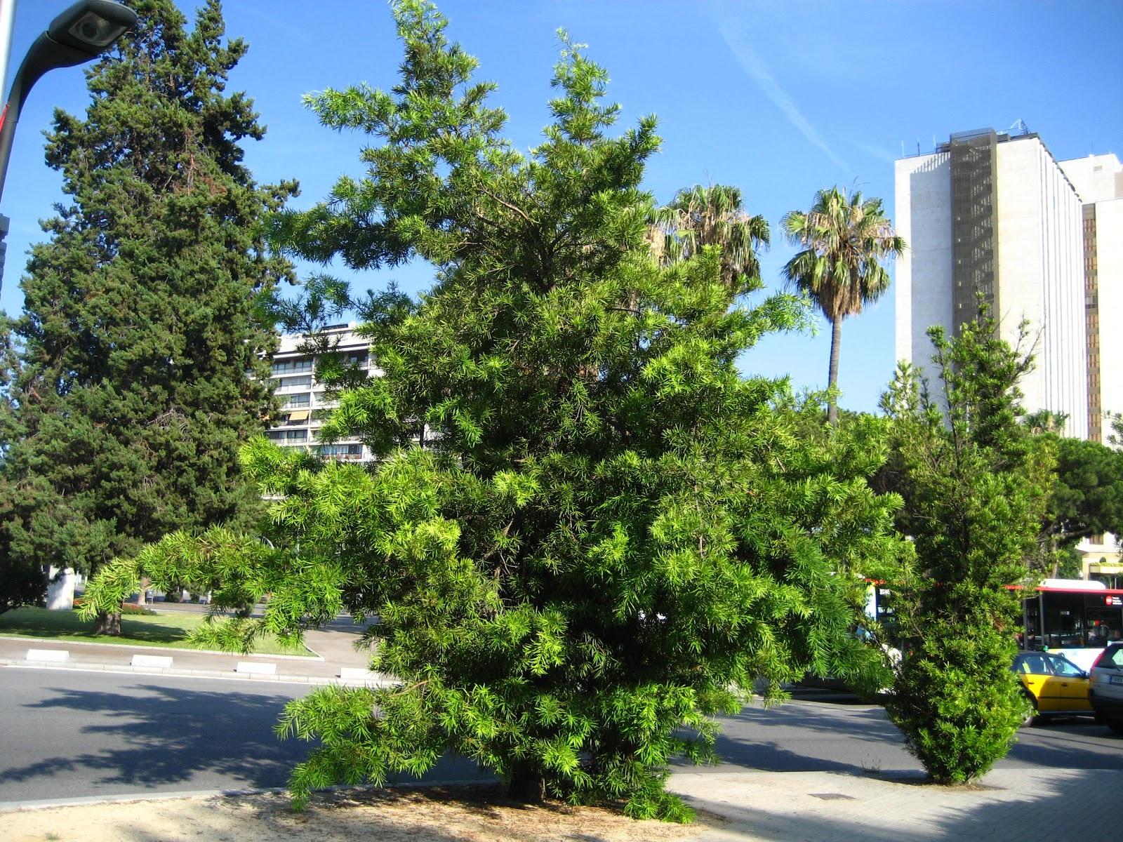 Rboles con alma podocarpo de hojas de adelfa podocarp for Arboles frutales de hoja perenne
