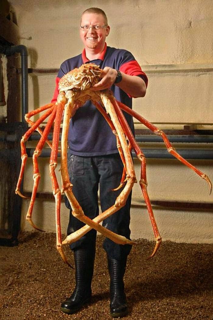 Animaux étranges le crabe araignée géant