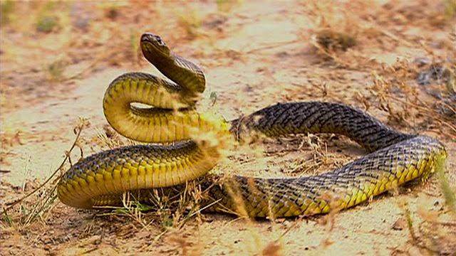 hva heter verdens farligste slange