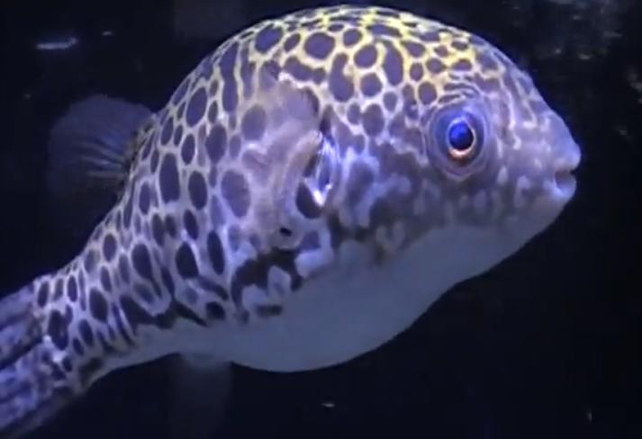 Fish Zone: spotted green puffer care