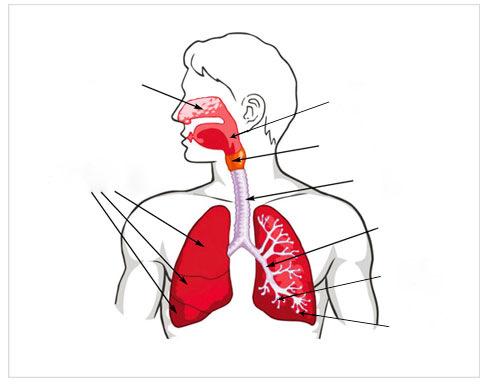 BIOLOGÍA 4º SECUNDARIA: La digestión y la respiración en el ser humano