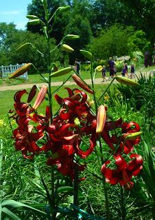 'Red Velvet' Asiatic Lilium
