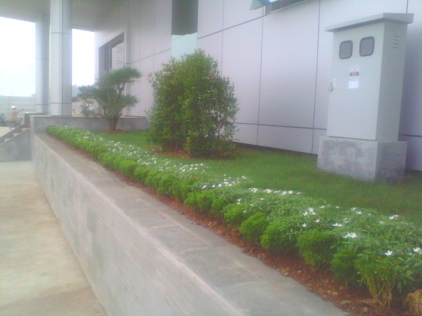 tanaman sarbena mini