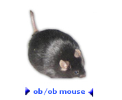 Photo of the ob/ob mouse or obese mouse.