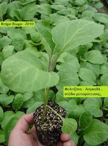 "BIO PLANTS EGGPLANT ""LAGADA""."