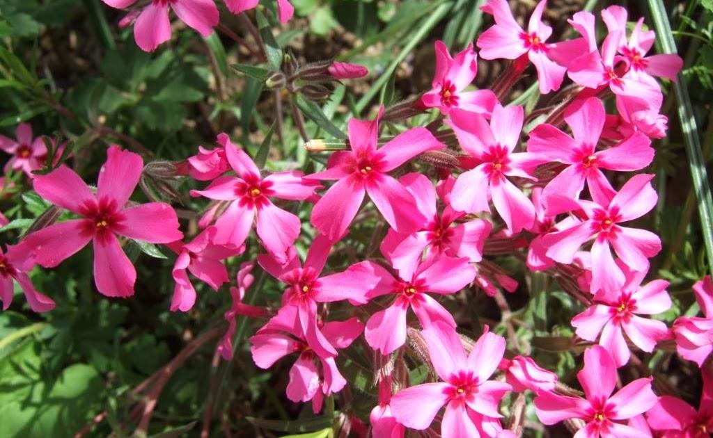 PflanzenResort Polster Phlox (Phlox sublata)