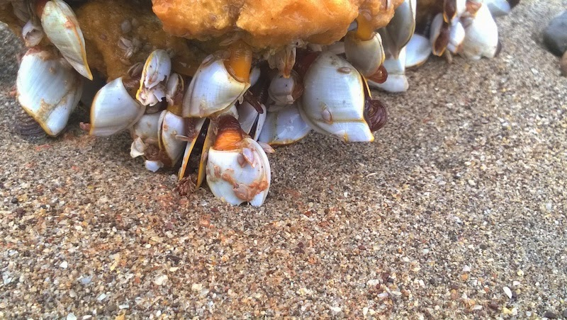 Crustaceans washed ashore on Konkan's beaches