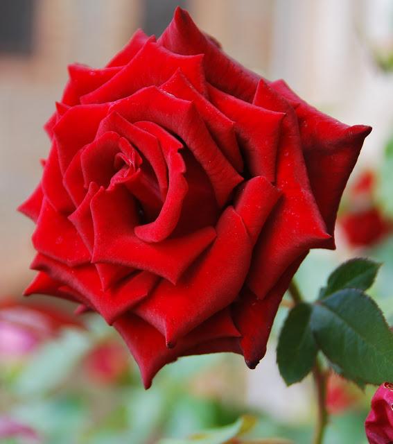 Descargar Imagenes De Rosas Y Flores - Rosas con brillo flores para relagar hermosas animadas