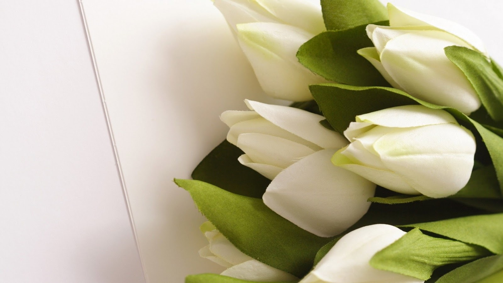 Beauty Full White Tulips Photos And White Tulips Flowers Wallpapers