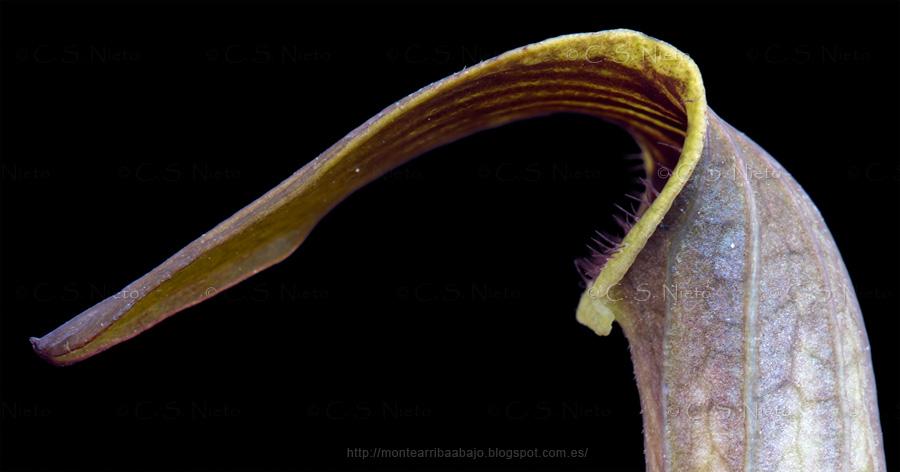 Detalle de la lengüeta y boca de entrada a la flor de Aristoloquia