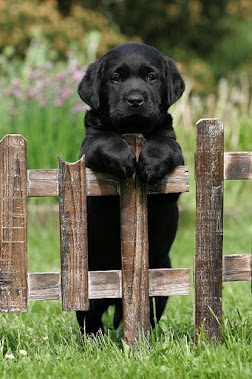 Pup on the fence