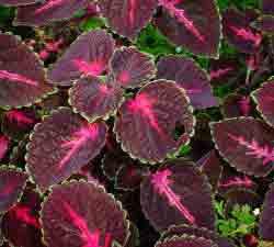 Coleus Pumilus Plants
