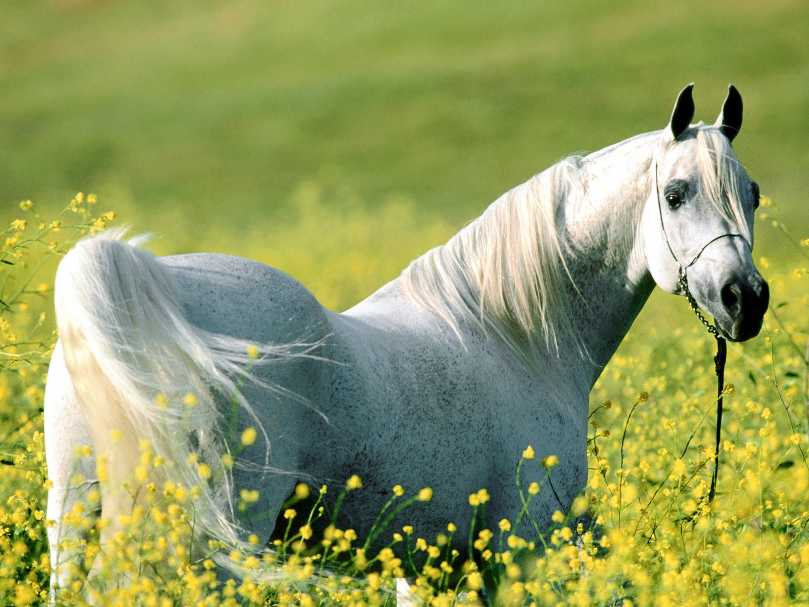 best wallpapers size: white horse wallpapers - free white horse hd