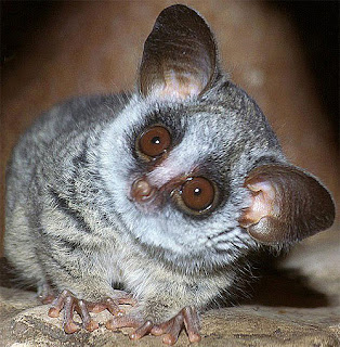 Bushbaby looks up with wide eyes