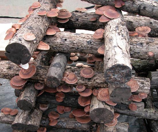 Mushroomers clubjanuary 2013 mushroomers club - Growing french walnuts for a profit ...
