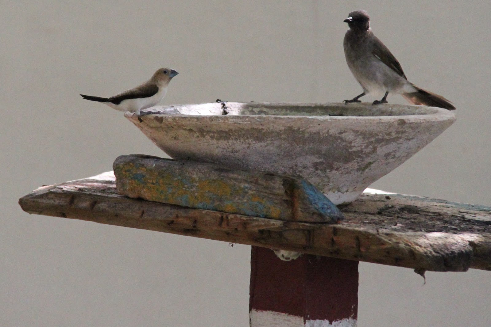 Ornithondar les oiseaux saint louis et au nord du for Passereaux des jardins