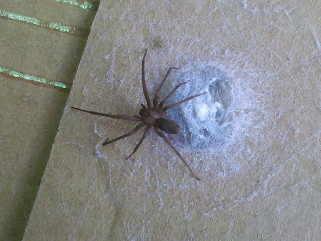 How to Identify Spider Egg Sacs: 11 Steps (with Pictures)