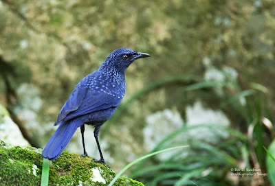 blue whistling thrush, hongkong birds