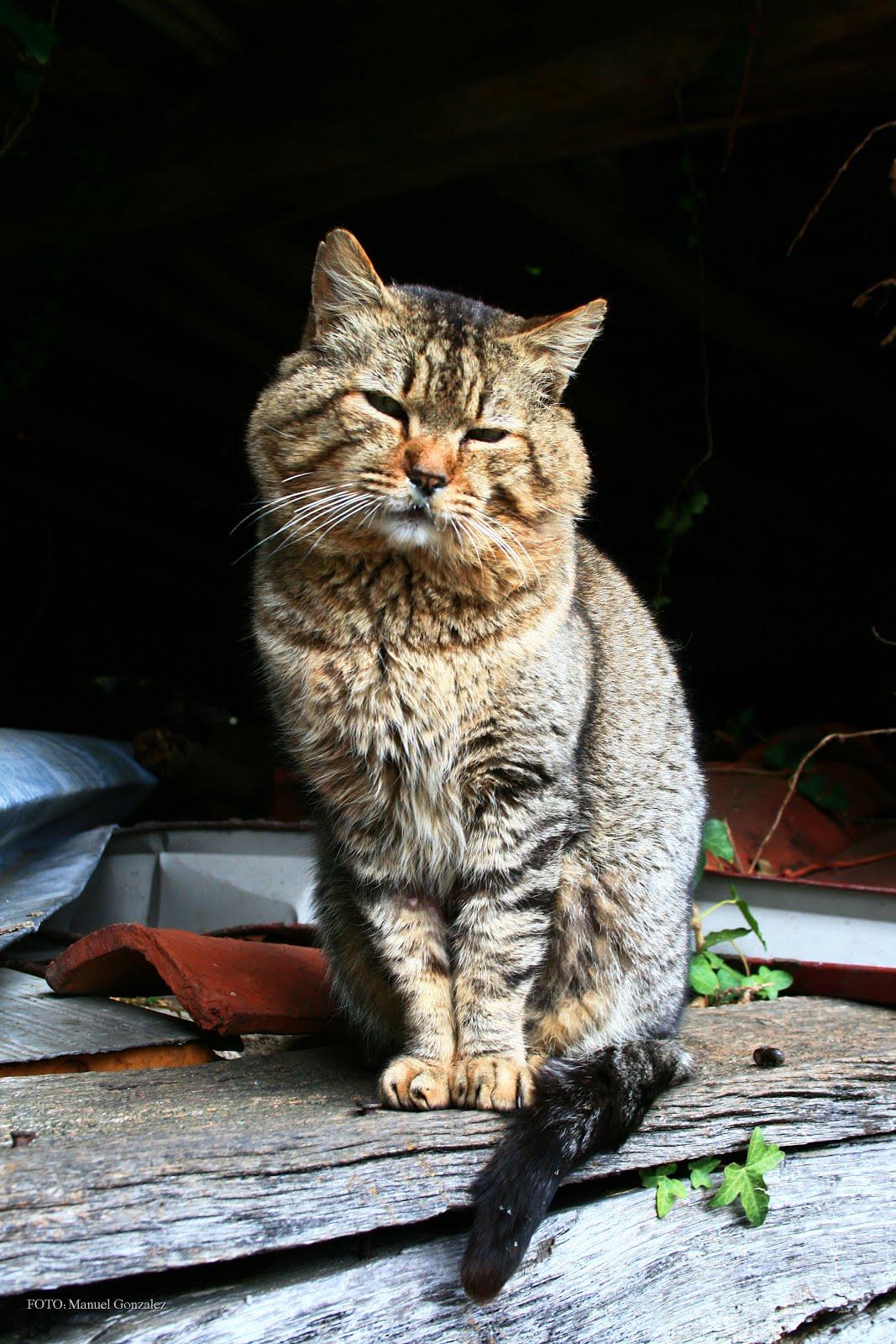 Gato Montes.