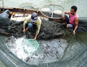 Proses pemanenan ikan