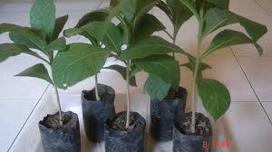 Jurnal kultur organ tanaman