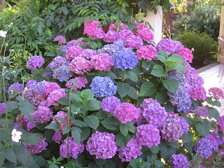 How to Planting Hydrangea for Business