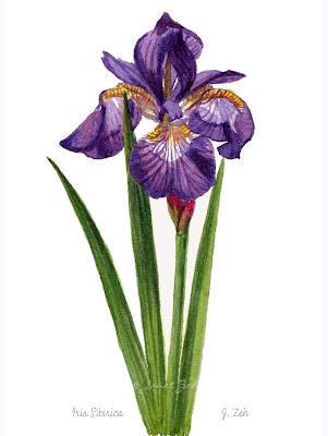A purple siberian iris