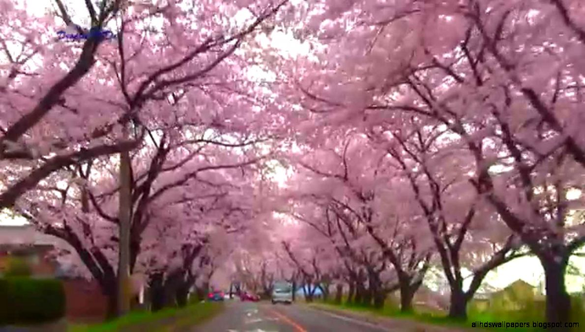 Endless Cherry Blossoms  5KM of Stunning Scenery  Japan   YouTube