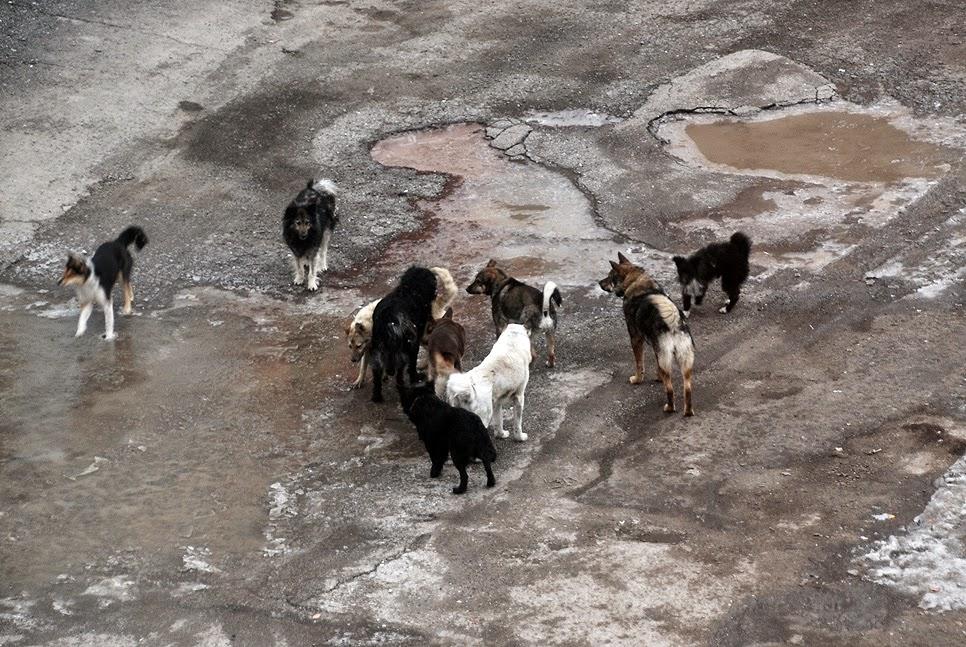 стая собак в Лысьве