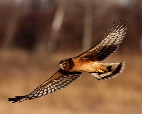 Indian birds - Image of Hen harrier - Circus cyaneus