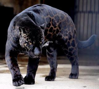 Melanismo: Leopardo negro