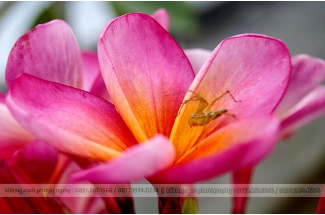 BUNGA KAMBOJA - Photo oleh : KLIKMG.COM Photography (Photographer Purwokerto/ Photographer Banyumas/ Photographer Indonesia)