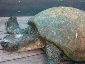Tartaruga achada no bairro de Itapuã, em Salvador (Foto: Eric Miranda/G1 BA)