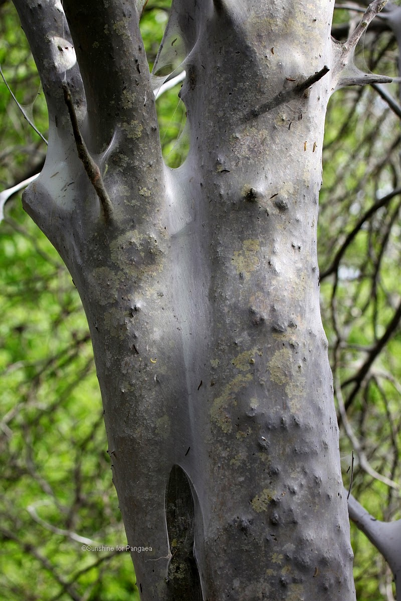 ermine moth web on a tree