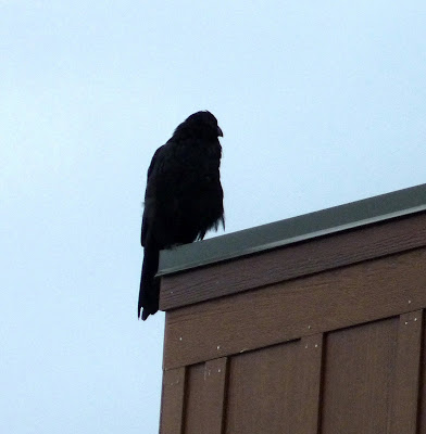 raven on the building