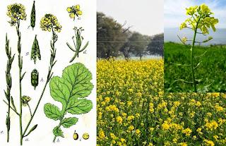 Mustard Plantation Business