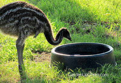 Raising Emus, shared by Garden Up Green at The Chicken Chick's Clever Chicks Blog Hop