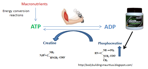 how does creatine affect your body essay