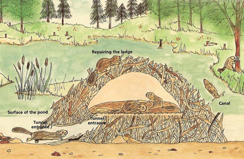 Beaver lodge diagram - photo#5