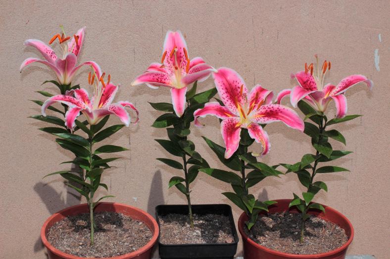 el jardín sucronense: lilium 'stargazer', espectáculo veraniego