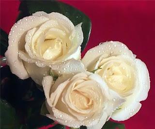 rosa blanca en fondo rojo