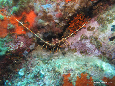 Sardinian crustacean underwater