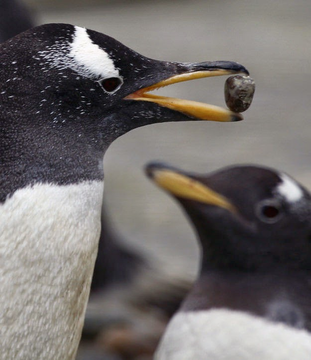 pinguinos comprometidos