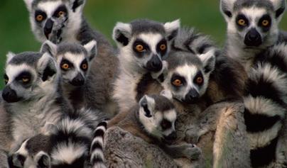 Лемуры Мадагаскара, Удивительные лемуры