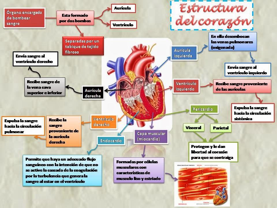Blog de Fisiología Básica de Rogelio Eduardo Enriquez Lopez : Corazón