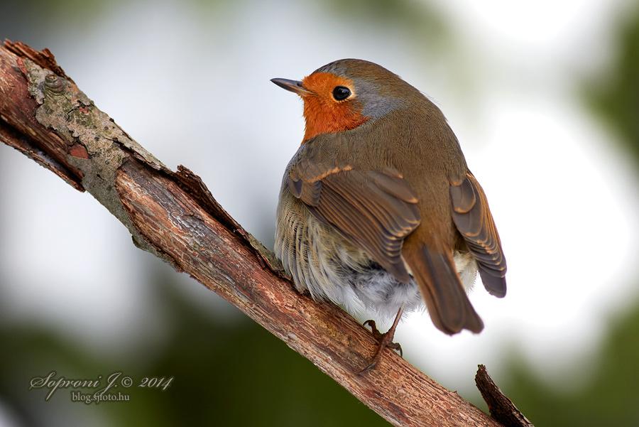Vörösbegy - Erithacus rubecula - European Robin - Rotkehlchen